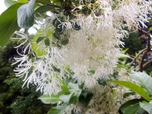 a feathery type of honeysuckle